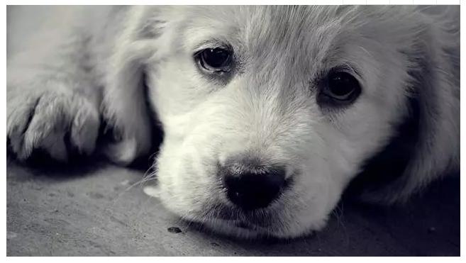 Hình ảnh chú chó buồn
