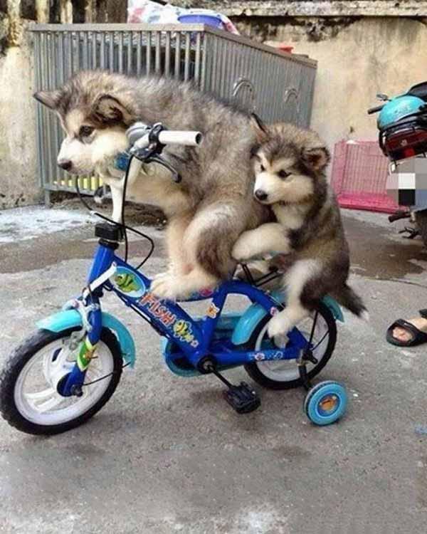 Ảnh chó đạp xe ngộ nghĩnh nhất