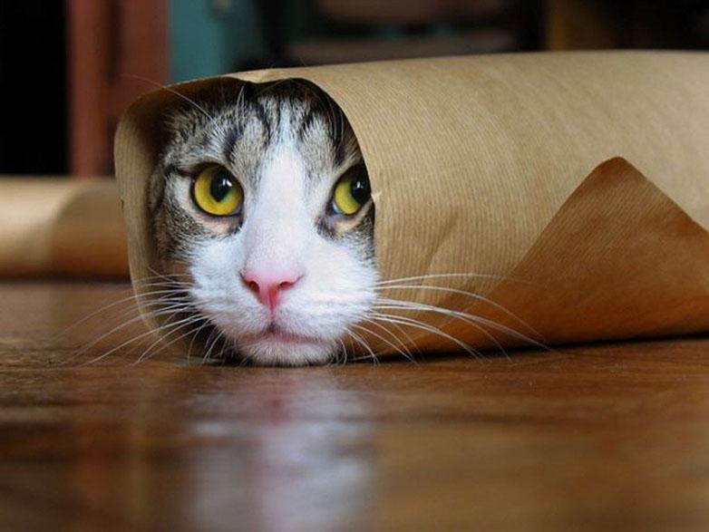 Ảnh chú mèo bó giấy ngộ nghĩnh
