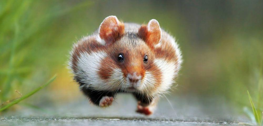 Ảnh chuột béo ngộ nghĩnh