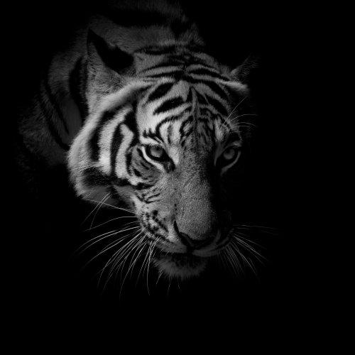 Avatar mặt hổ đẹp