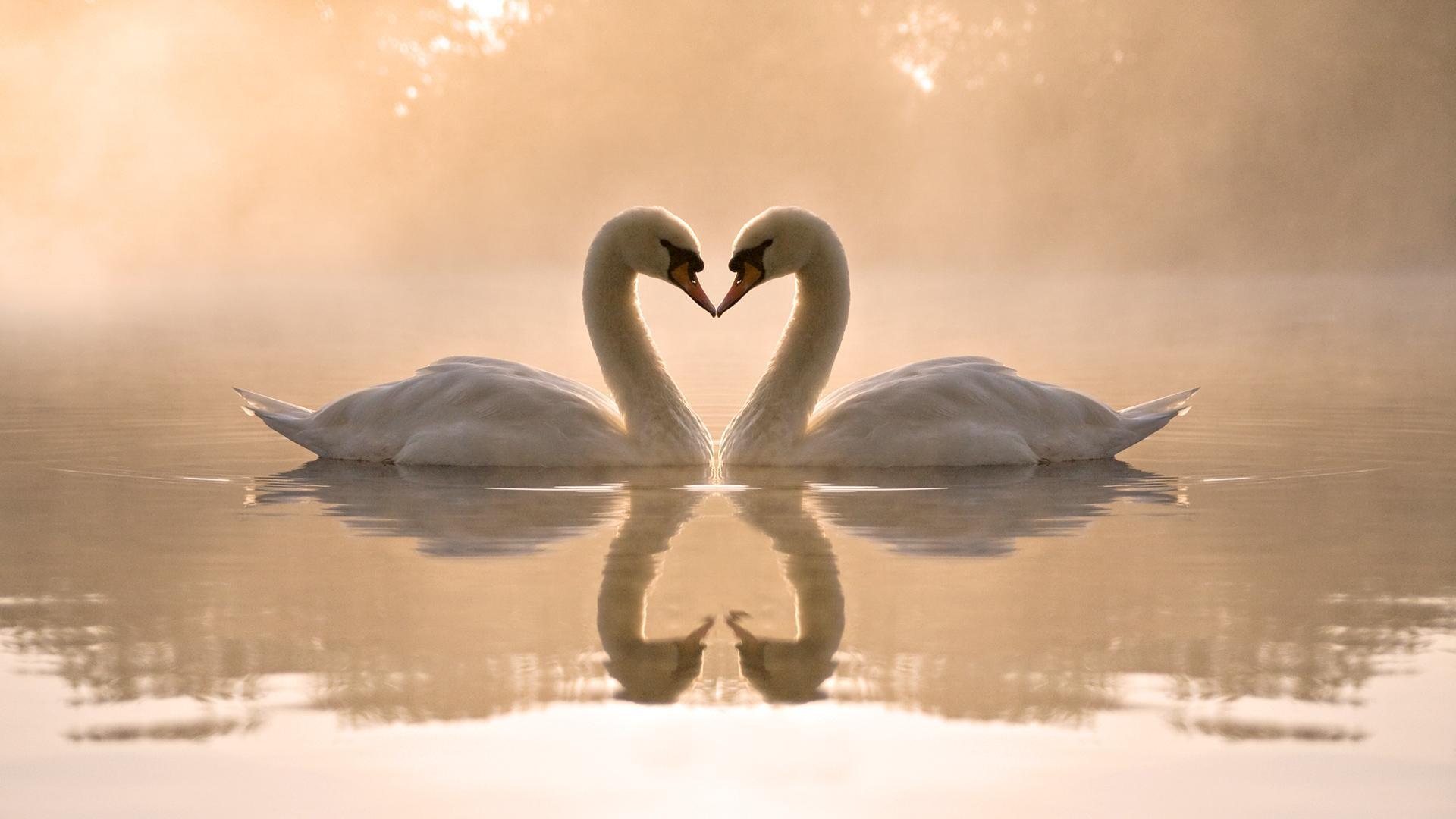 Hình ảnh tình yêu thiên nga đẹp
