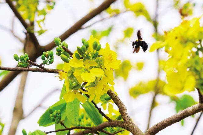 Hình ảnh bông hoa mai bên chú ong