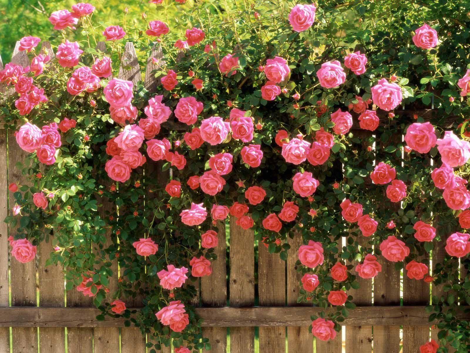 Hình ảnh bức tường hoa hồng leo đẹp