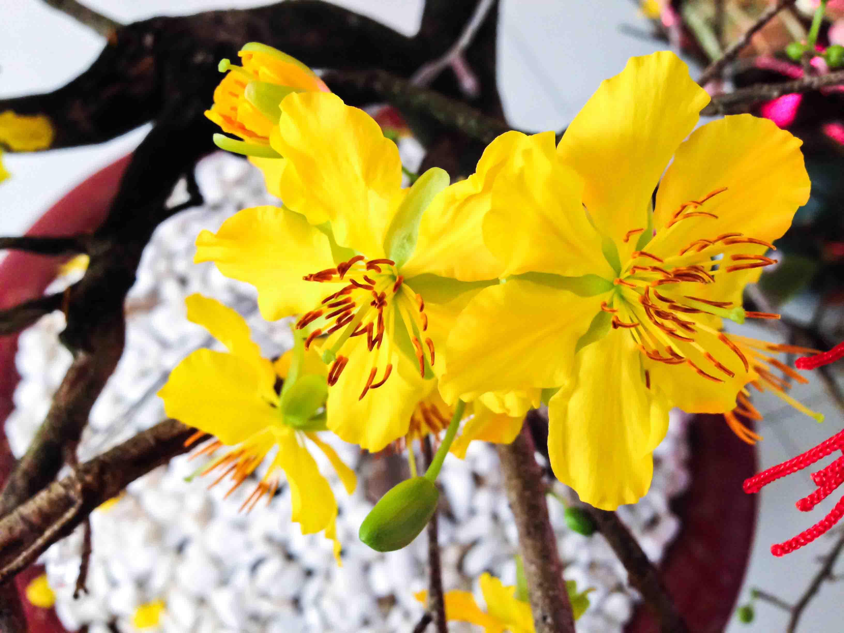 Hình ảnh cận cảnh hoa mai vàng