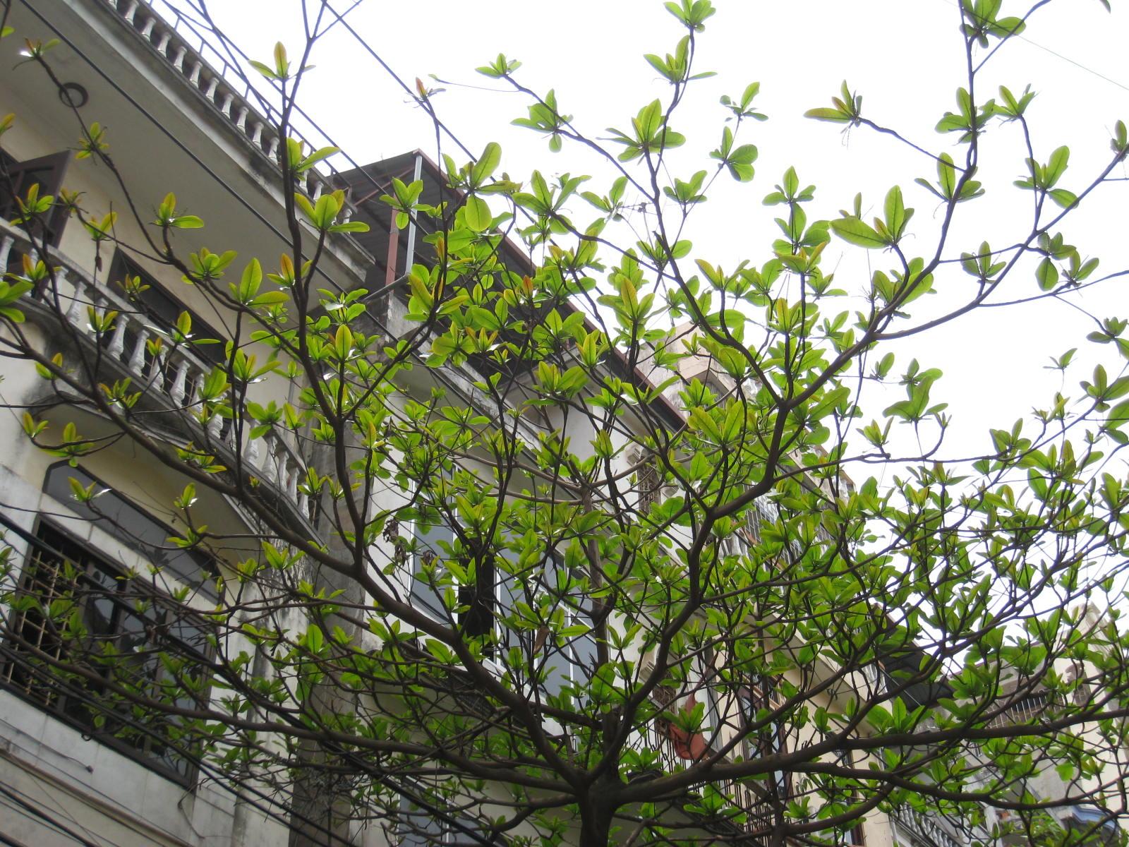 Hình ảnh cây bàng mùa xuân