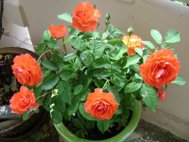 Hình ảnh chậu hoa hồng đẹp