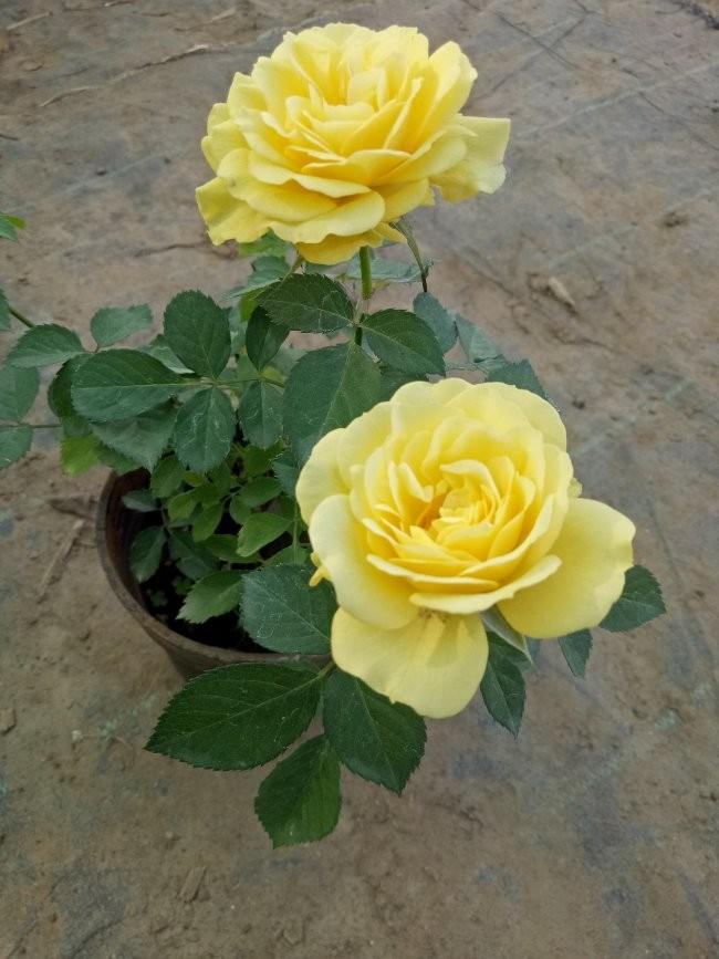 Hình ảnh chậu hoa hồng vàng đẹp