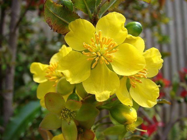 Hình ảnh chùm hoa mai đẹp