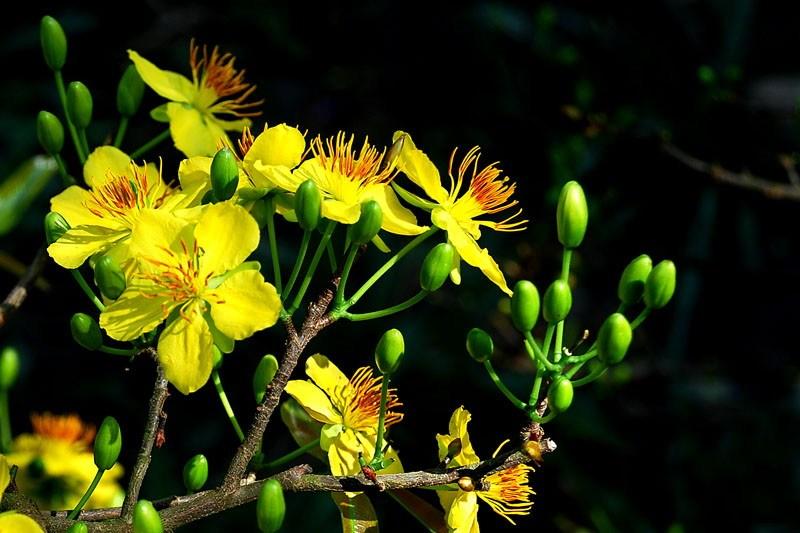 Hình ảnh chùm hoa mai trong nắng