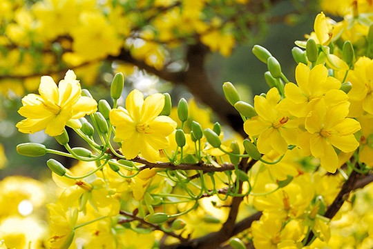 Hình ảnh chùm hoa mai vàng khoe sắc