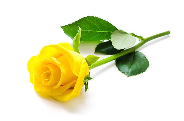 Hình ảnh đóa hoa hồng vàng