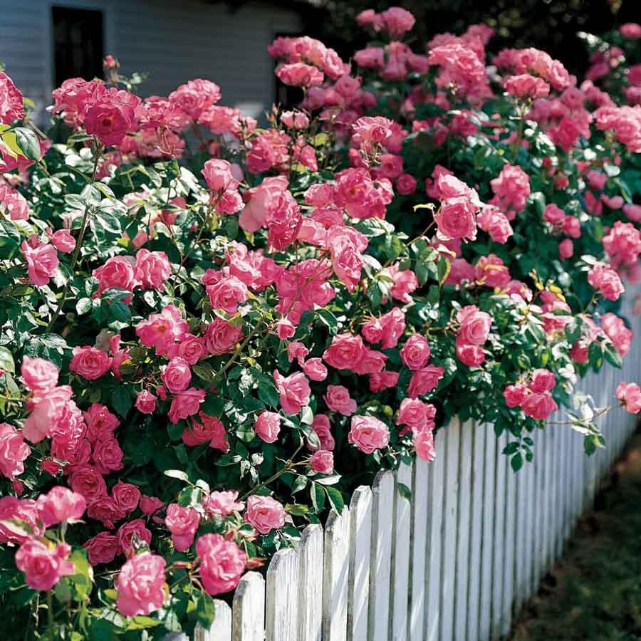 Hình ảnh hàng rào hoa hồng đẹp nhất