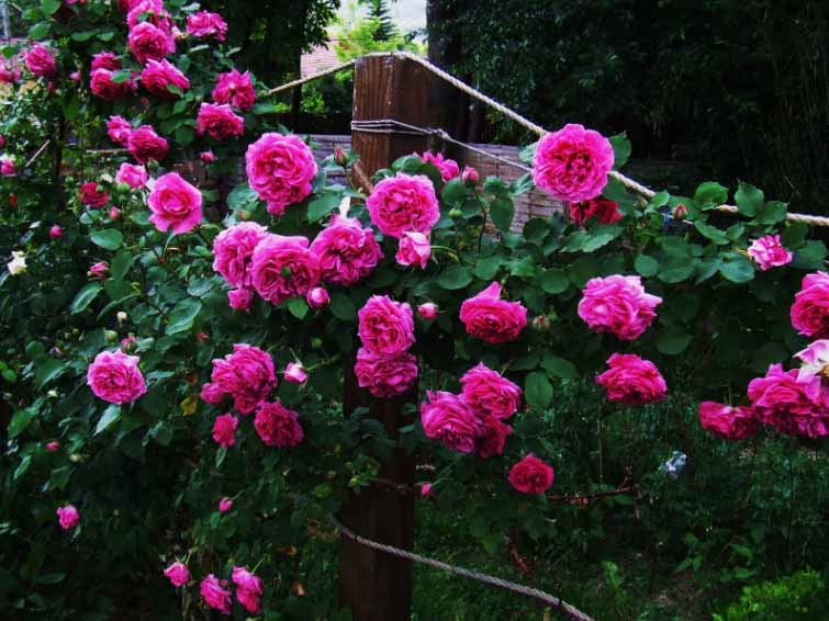 Hình ảnh hàng rào hoa hồng đẹp