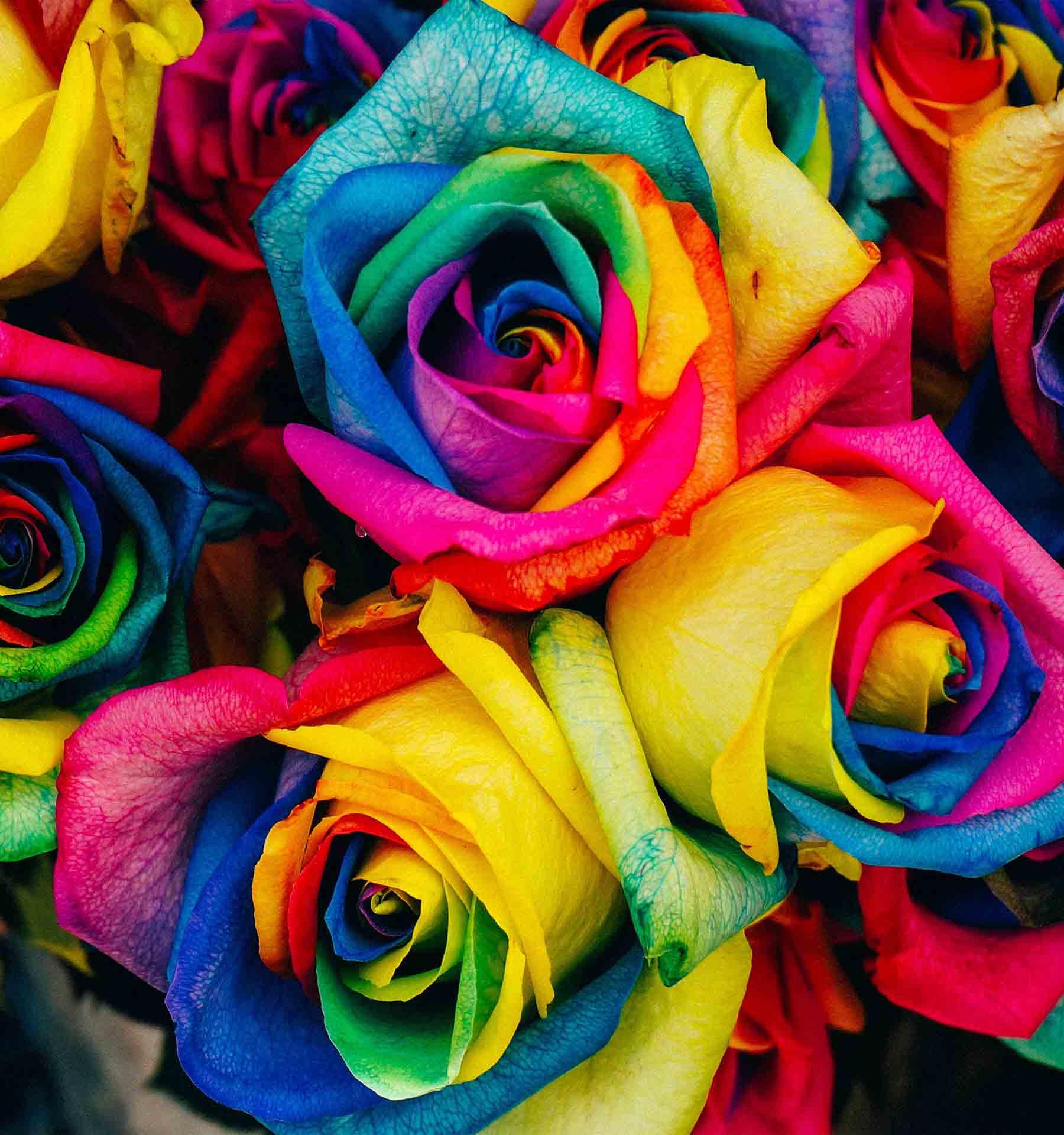Hình ảnh hoa hồng cầu vồng độc đáo