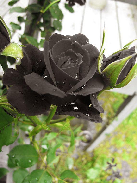 Hình ảnh hoa hồng đen trong thiên nhiên