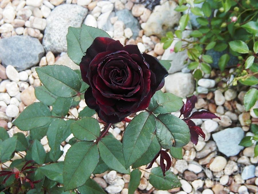Hình ảnh hoa hồng đen