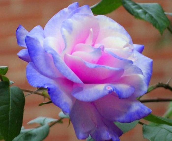 Hình ảnh hoa hồng hiếm đẹp nhất
