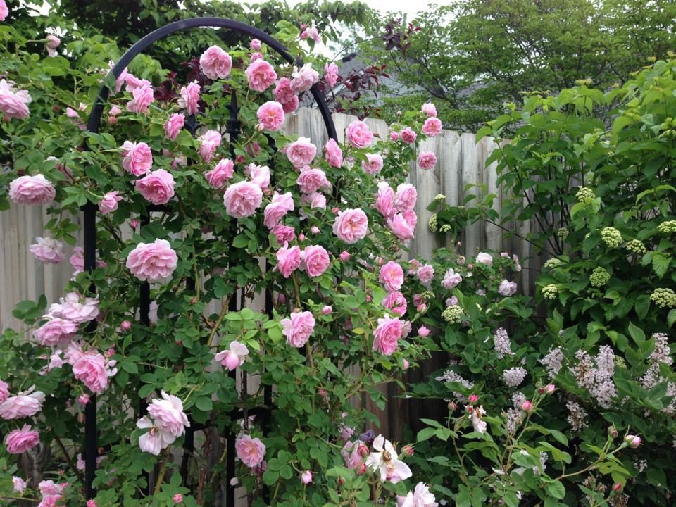 Hình ảnh hoa hồng leo đẹp nhất