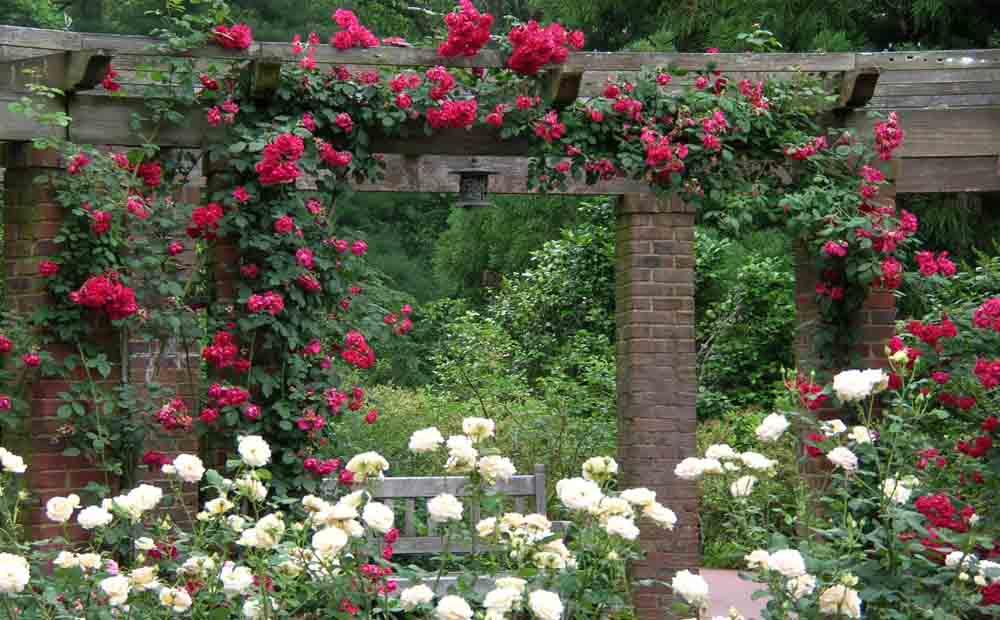 Hình ảnh hoa hồng leo đẹp