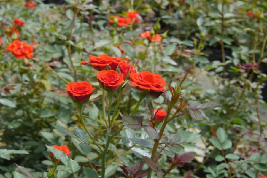 Hình ảnh hoa hồng leo màu cam đẹp