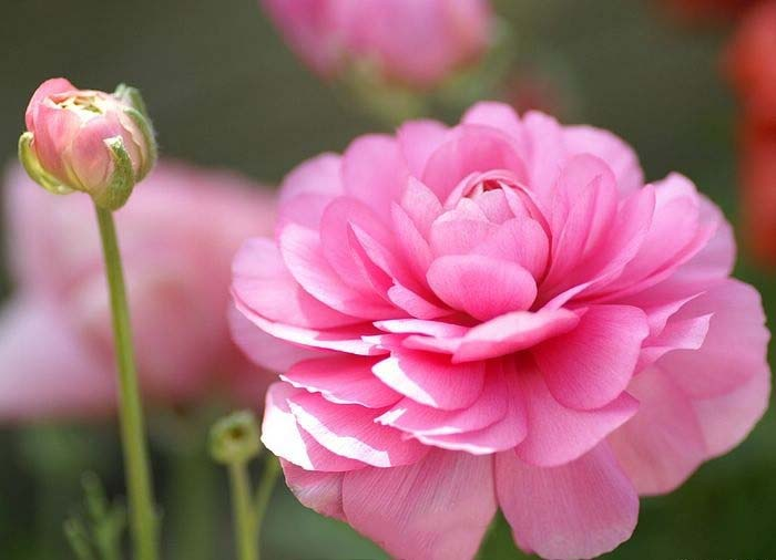 Hình ảnh hoa hồng ri của Ba Tư