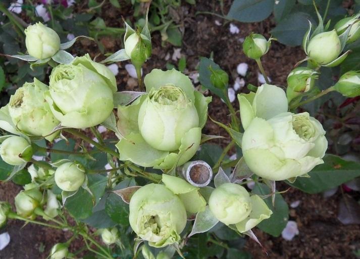 Hình ảnh hoa hồng xanh lá đẹp