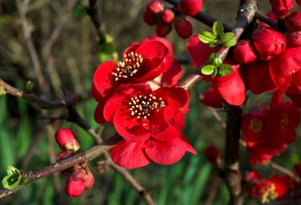 Hình ảnh hoa mai đỏ