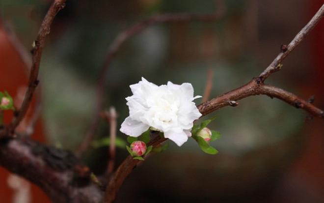 Hình ảnh hoa mai nhất chi cực đẹp