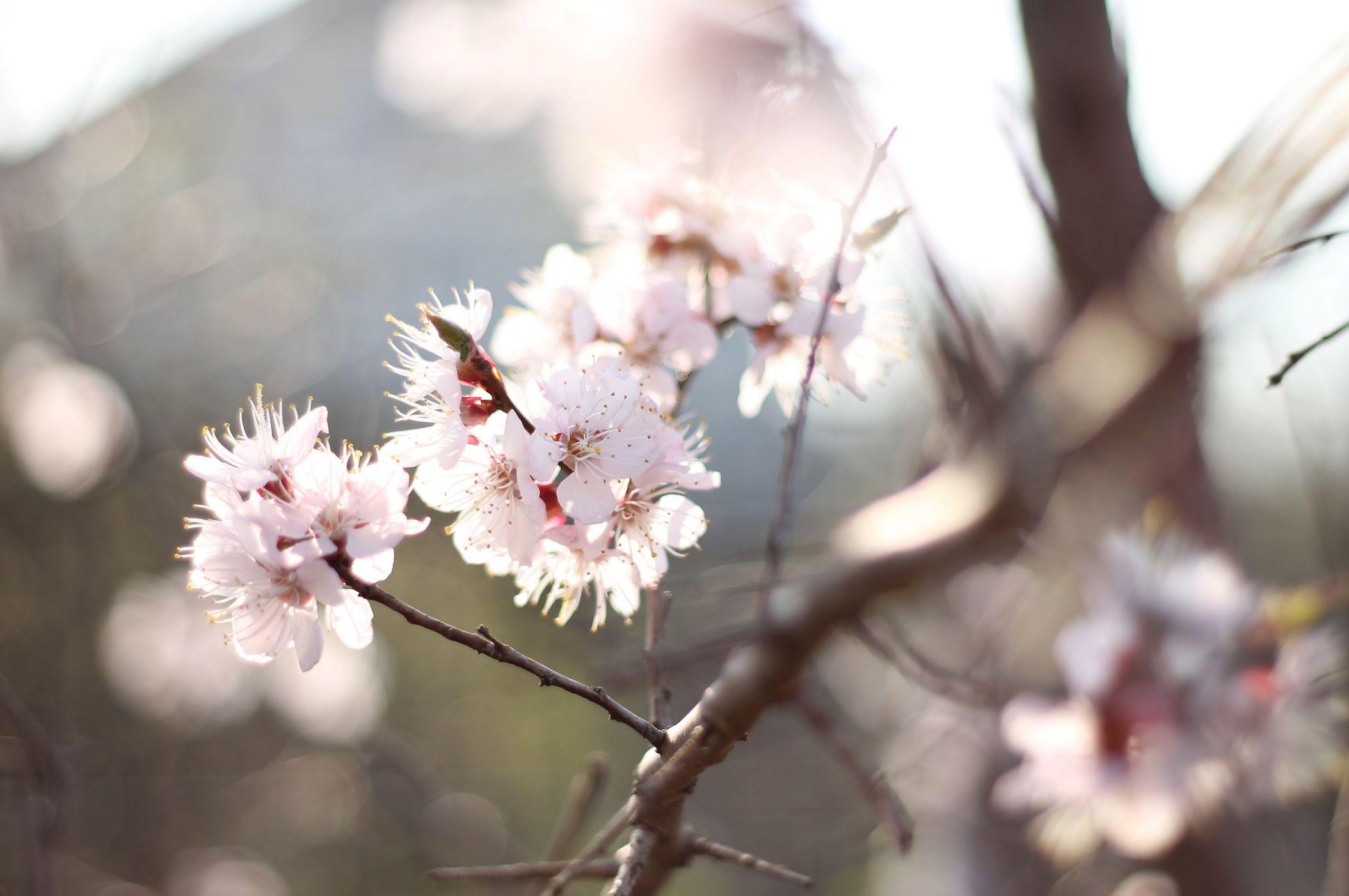 Hình ảnh hoa mai trắng cực độc