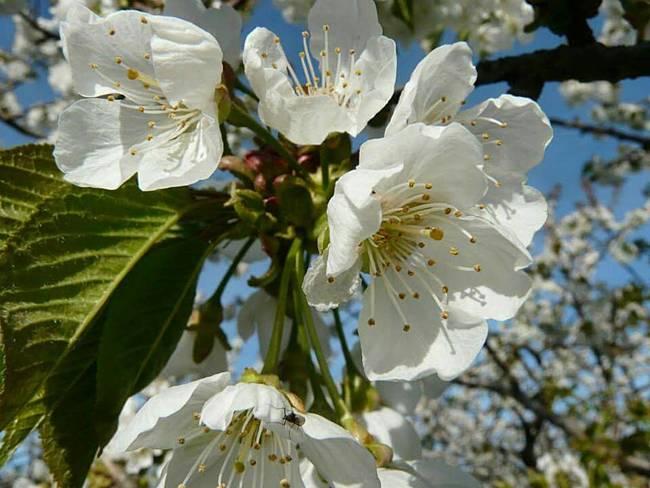 Hình ảnh hoa mai trắng đẹp nhất