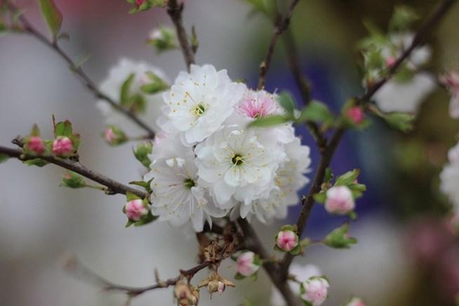 Hình ảnh hoa mai trắng độc nhất
