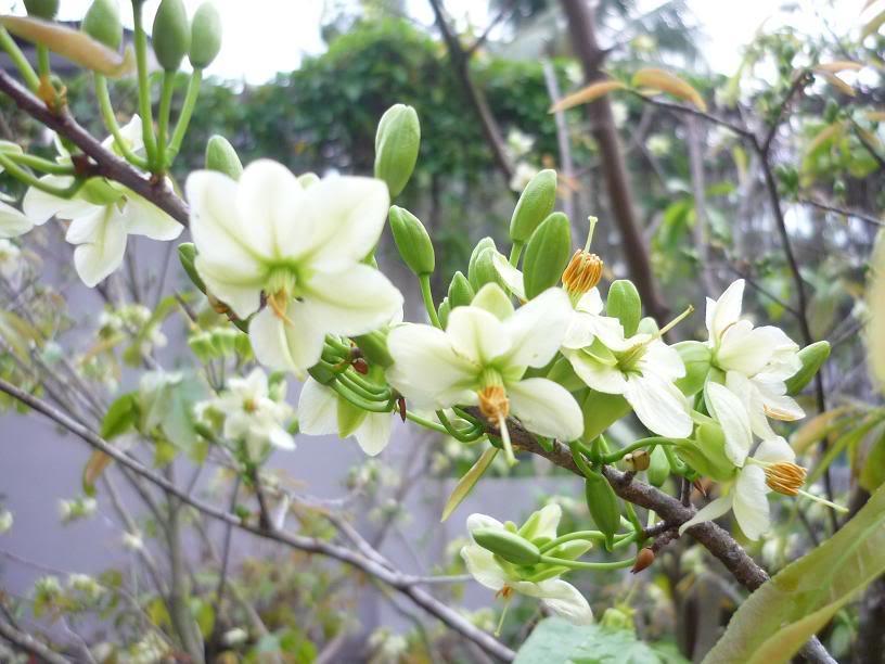 Hình ảnh hoa mai trắng ngày tết
