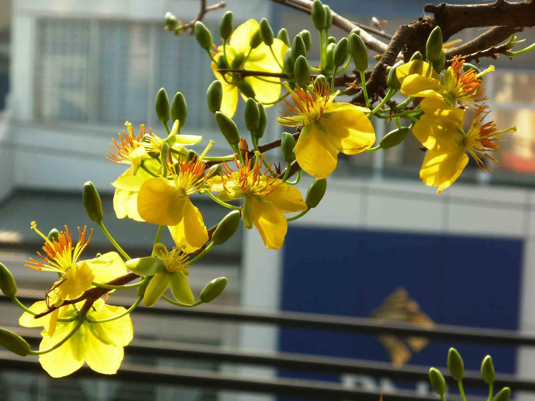 Hình ảnh hoa mai trên phố