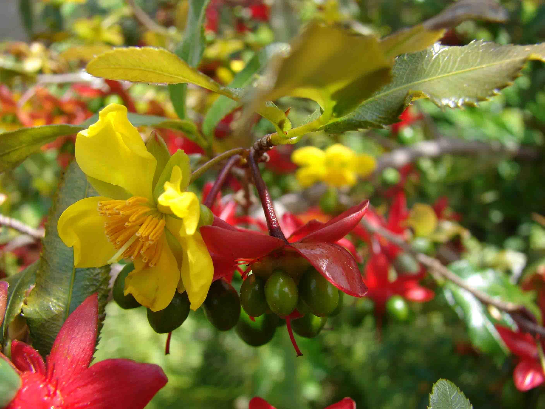 Hình ảnh hoa mai tứ quý khoe sắc