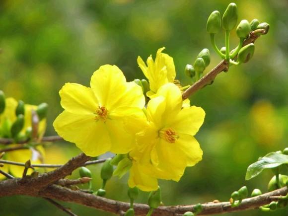 Hình ảnh hoa mai vàng đón tết