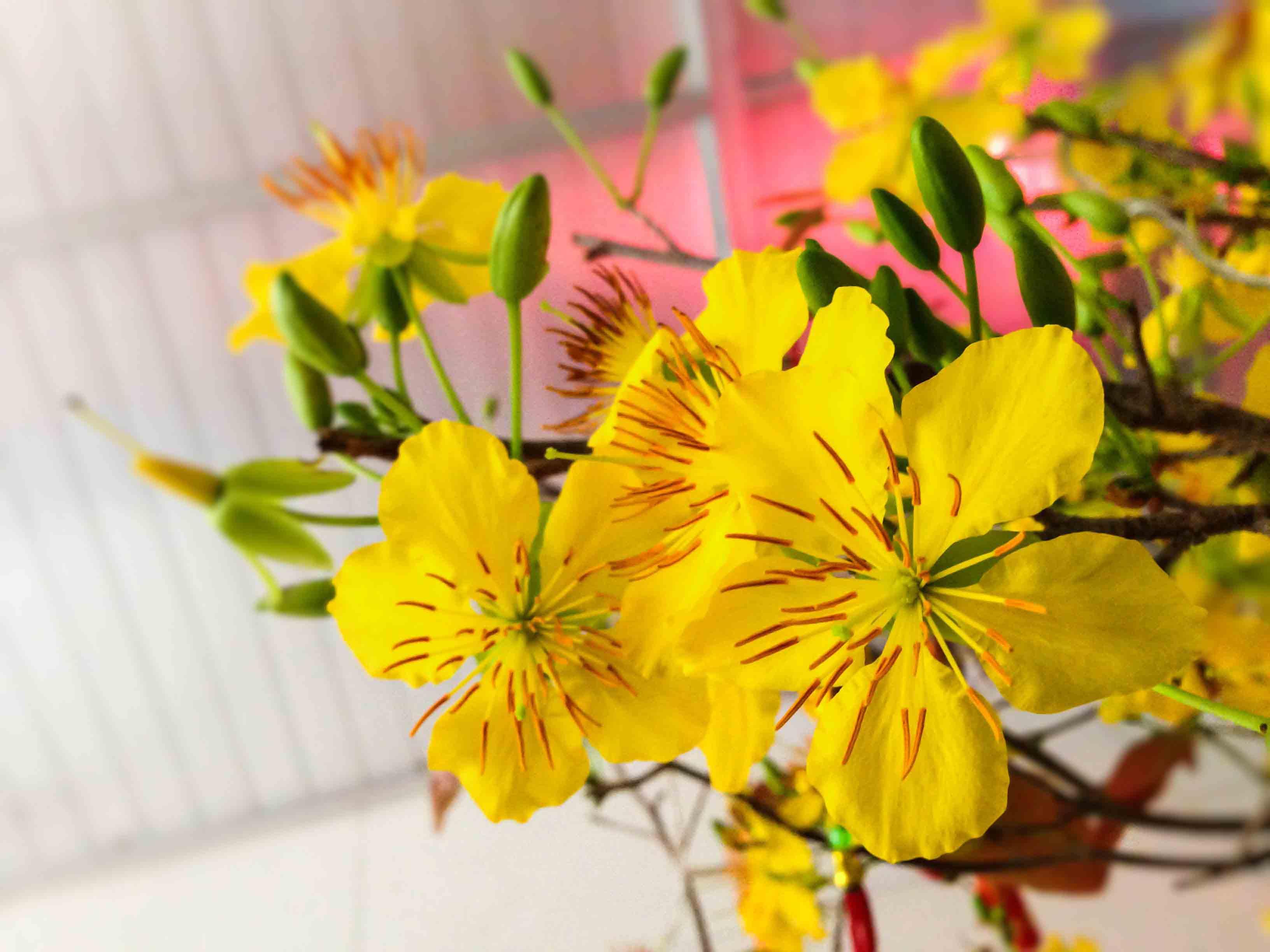 Hình ảnh hoa mai vàng khoe sắc trong nhà