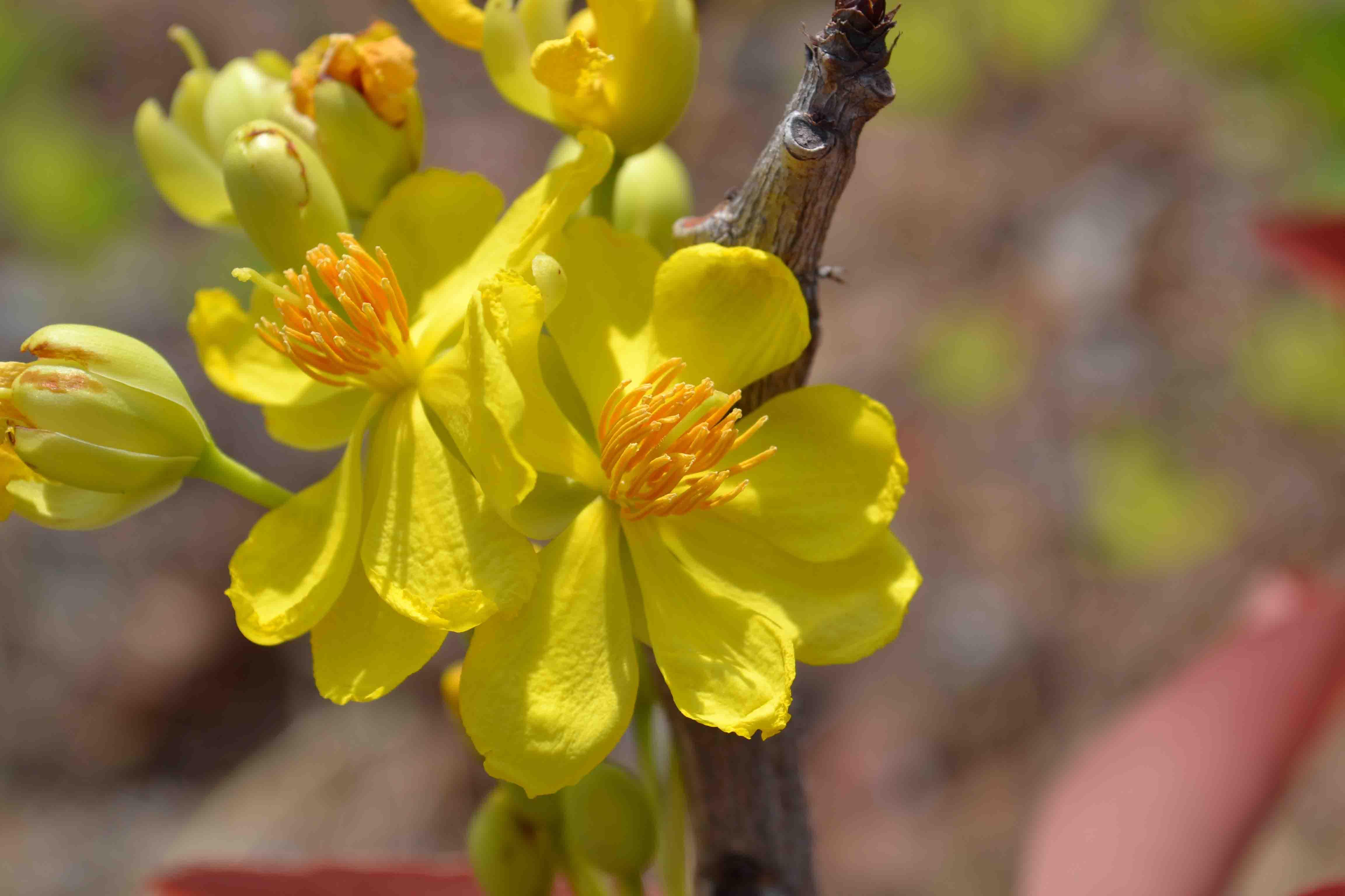 Hình ảnh hoa mai vàng không lá