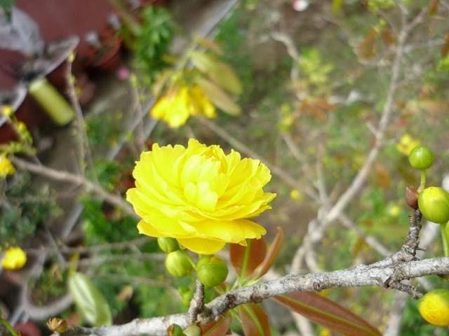 Hình ảnh hoa mai vàng nở