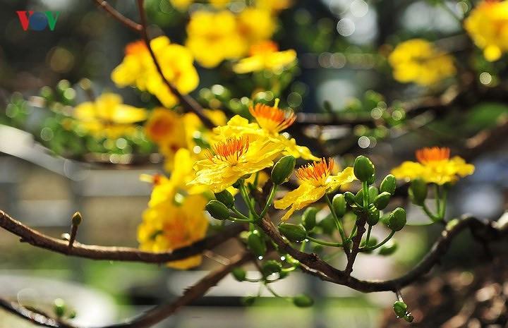 Hình ảnh hoa mai vàng trong nắng