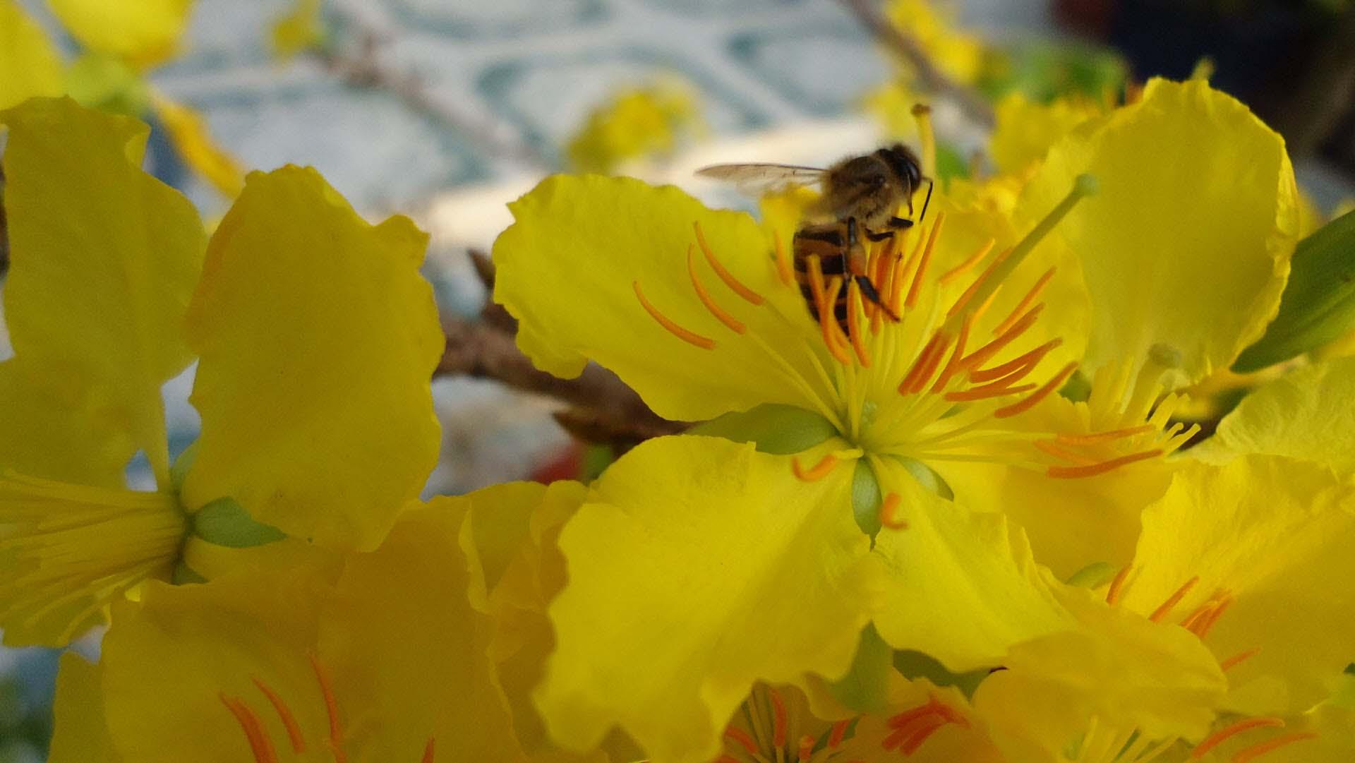 Hình ảnh hoa mai vàng và chú ong mật