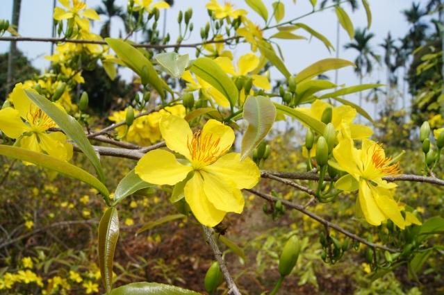 Hình ảnh hoa mai Việt đẹp nhất
