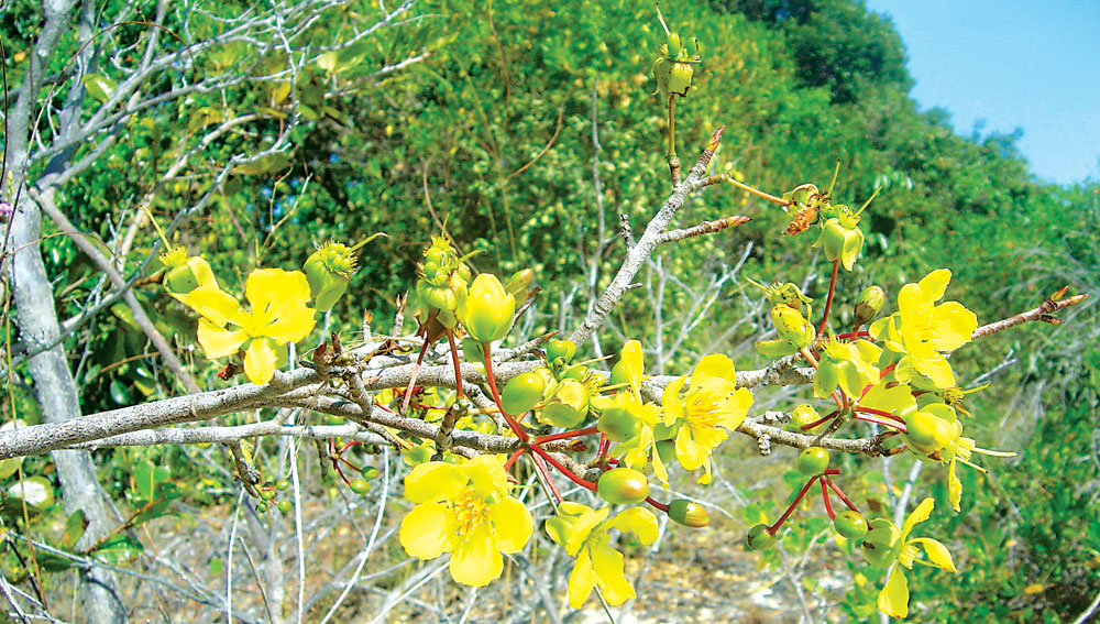 Hình ảnh hoa mai vườn