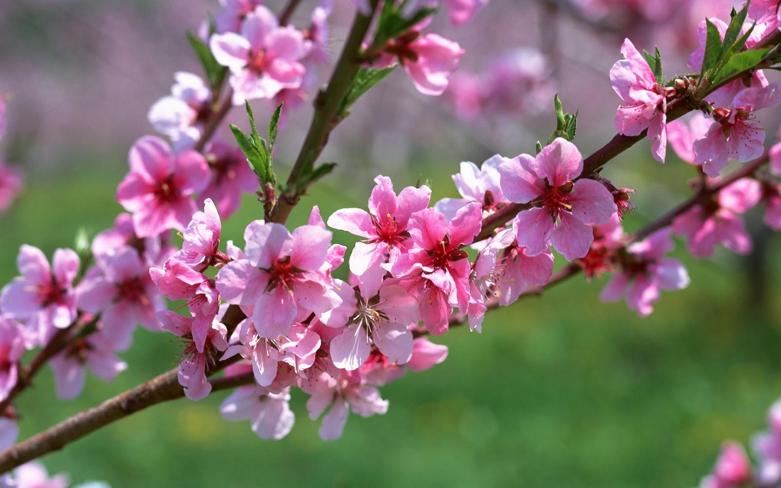 Hình ảnh hoa mùa xuân (3)