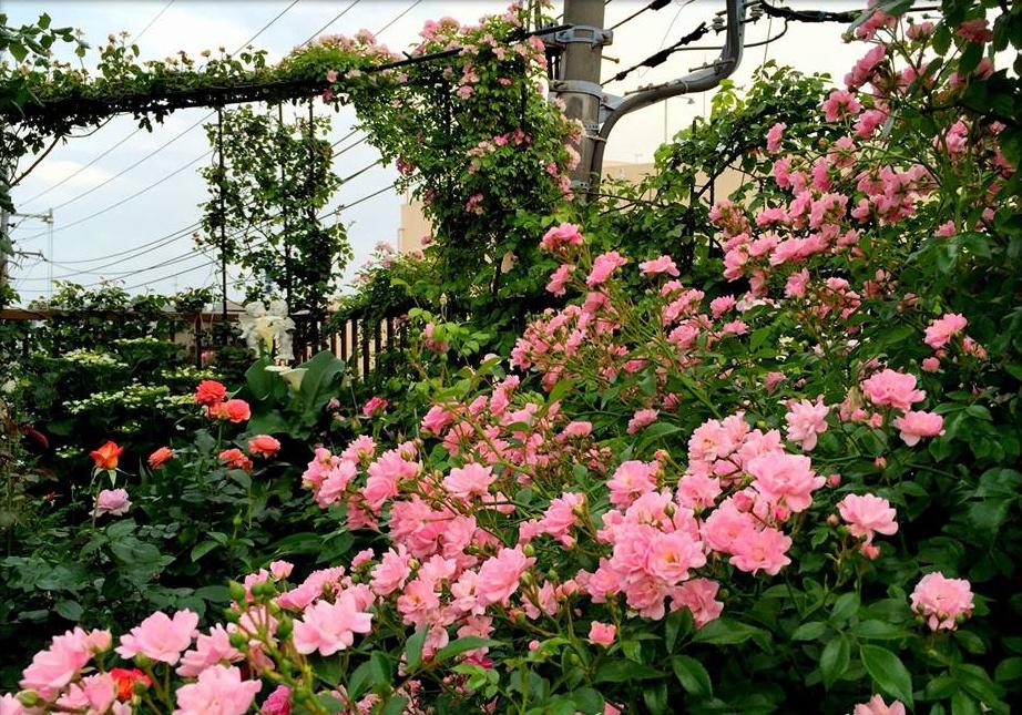 Hình ảnh khu vườn hoa hồng leo đẹp