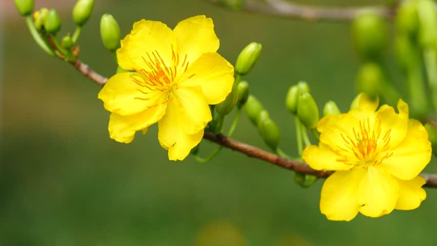 Hình ảnh một cành hoa mai đẹp