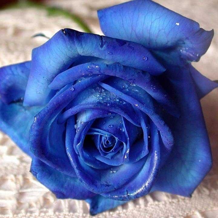Hình ảnh một đóa hoa hồng xanh