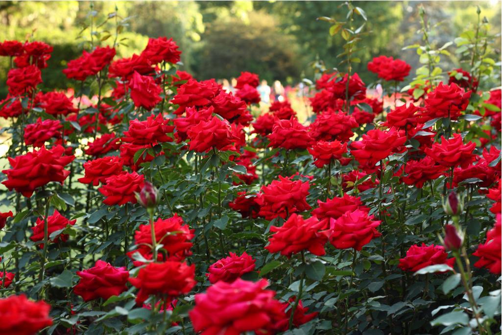 Hình ảnh một rừng hoa hồng đẹp