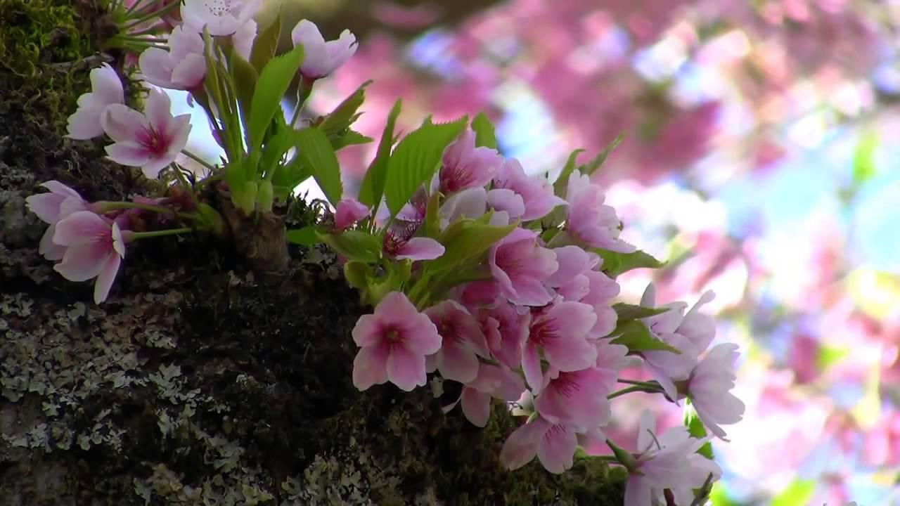 Hình ảnh mùa xuân bụi hoa dại màu hồng đẹp