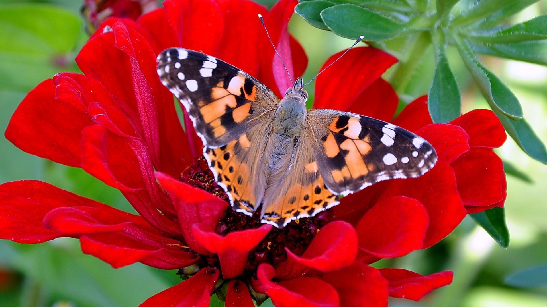 Hình ảnh mùa xuân hoa bướm đẹp (5)
